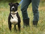 Staffordshire Terrier - fiatal kan