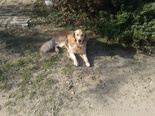 Golden retriever - fiatal szuka