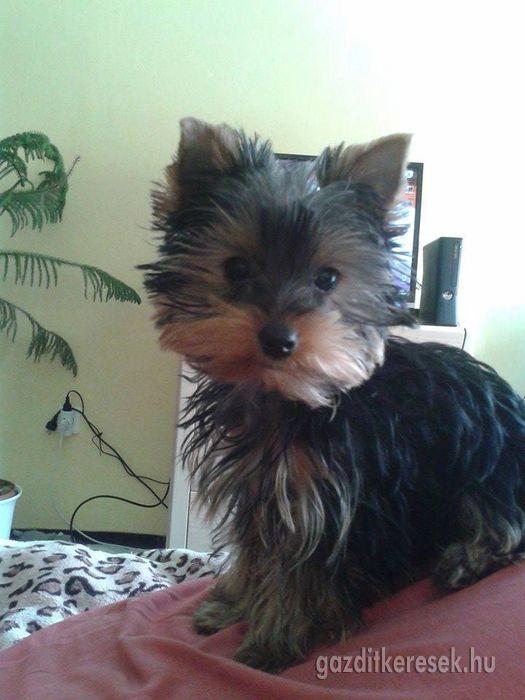 Elveszett Kutya Yorkshire Terrier Kalocsa Gazditkeresek Hu