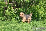 Welsh terrier - 9 éves szuka